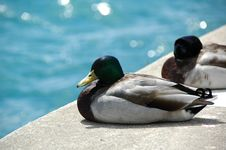 Green Headed Duck Couple Royalty Free Stock Photography