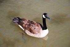 Free Goose. Royalty Free Stock Image - 5235666