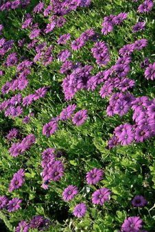 Free Violet Flower Background Stock Image - 5235751