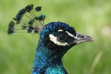 Free Peacock Royalty Free Stock Photography - 5235917