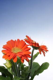 Free Gerber Flower Stock Photography - 5236392
