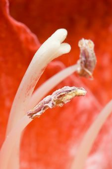 Free Amaryllis Flower Stock Images - 5236434