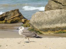 Free Seagull On The Beach Royalty Free Stock Photo - 5237125