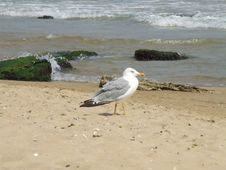 Free Beautiful Seagull Stock Photos - 5237143