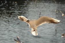 Free The Flying Black—headed Gull Stock Photography - 5237182