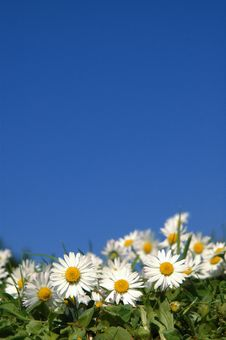 Free Daisies In The Sunshine. Royalty Free Stock Photos - 5237408