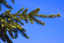 Free Branch Of Fir-tree Stock Photos - 5237413