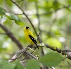 Free American Goldfinch Stock Images - 5237494
