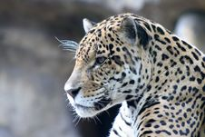 Free Close-up Of Leopard Stock Photography - 5238742