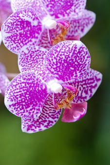 Free Orchid Stock Image - 5239591