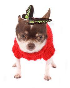 Free Chihuahua Stock Photos - 5239713
