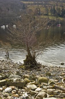 Free Tree By Loch Tay, Royalty Free Stock Photography - 5239847