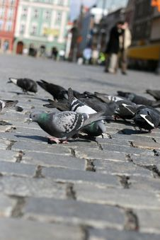Free Pigeons Stock Images - 5239924