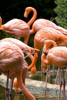 Free Flamingos Background Stock Photography - 5239992