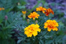 Free Yellow Orange Flowers Stock Image - 52326841