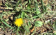 Free Dandelion Stock Photo - 52347590