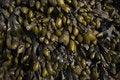 Free Seaweed On Rocks Detail Royalty Free Stock Image - 5240586