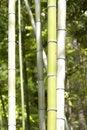 Free Bamboo Stalks Royalty Free Stock Photo - 5241075