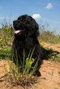 Free Newfoundland Dog Stock Images - 5241114
