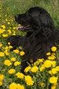 Free Newfoundland Dog Royalty Free Stock Photos - 5241208