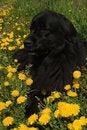 Free Newfoundland Dog Stock Images - 5241234