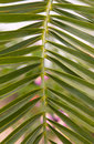 Free Leaf Of A Palm Tree Royalty Free Stock Photography - 5241687