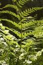 Free Fern Leaf Detail Royalty Free Stock Photo - 5242205