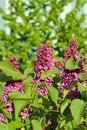 Free Violet Lilac Flower Stock Images - 5242454