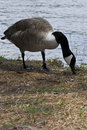Free Goose Royalty Free Stock Photography - 5243237