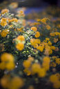Free Yellow Flowers Stock Photography - 5244252