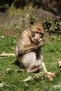 Free Barbary Macaque Stock Photo - 5248750