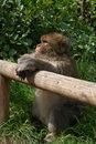 Free Barbary Macaque Royalty Free Stock Images - 5248759
