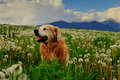 Free Dog On Dandelion Meadow Royalty Free Stock Photo - 5248865