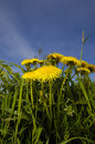 Free Dandelion Flowers In Nature Royalty Free Stock Image - 5248986