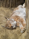 Free Sleepeng Lynx Royalty Free Stock Images - 5249209