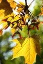 Free Autumn Maple Leaves Stock Photo - 5249910