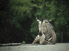 Free Zebra Royalty Free Stock Photo - 5240045