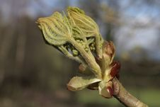 Free Young Tree Leaf Bud Stock Photo - 5240080