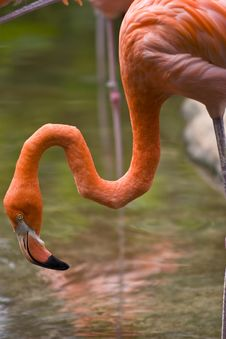 Free Flamingo, Closeup Stock Photography - 5240092