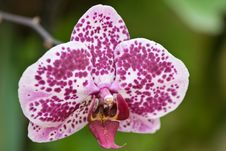 Free Orchid Royalty Free Stock Image - 5240116
