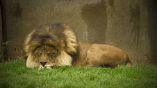 Free Sleeping Lion Royalty Free Stock Images - 5240139