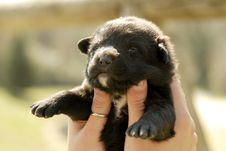 Free Black Puppy Stock Photography - 5240412