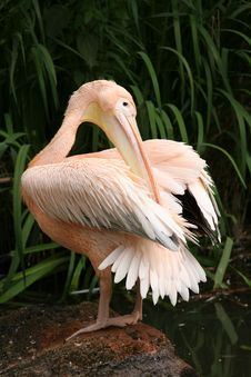 Free Pelican Grooming Stock Photo - 5240670