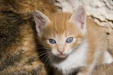 Free Lovely Kitten Royalty Free Stock Photos - 5240788