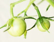 Free Green Tomato Royalty Free Stock Photos - 5241048