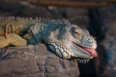 Free Iguana Lying On A Rock Royalty Free Stock Photography - 5241207