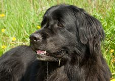 Free Newfoundland Dog Stock Image - 5241341