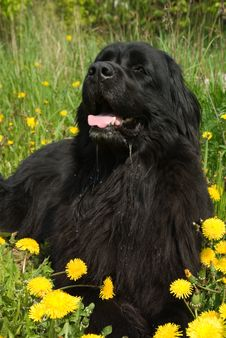 Free Newfoundland Dog Royalty Free Stock Image - 5241356