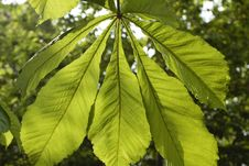 Large Tree Leaf Stock Photos