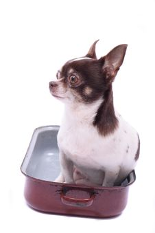 Free Chihuahua In The Pot Royalty Free Stock Photography - 5241747